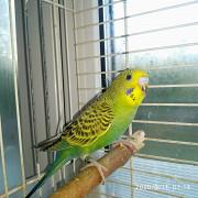 Волнистый попугайчик Большой Исток
