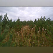 Сосна обыкновенная с корнем Екатеринбург